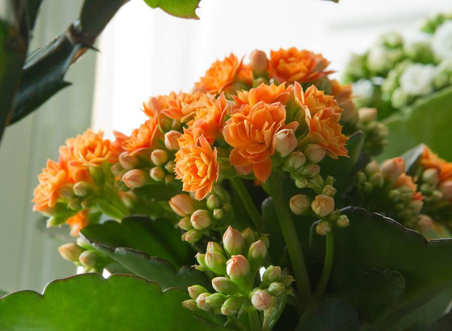 Все о домашних цветах с каланхоэ