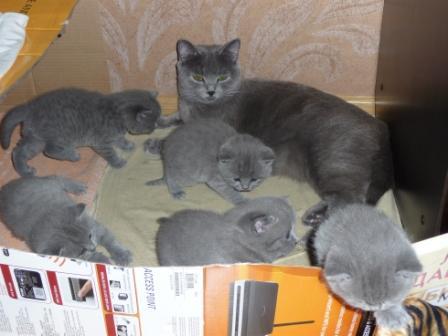 Британцы коты прямоухие фото